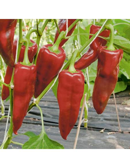 Pepper Pantos organic seeds