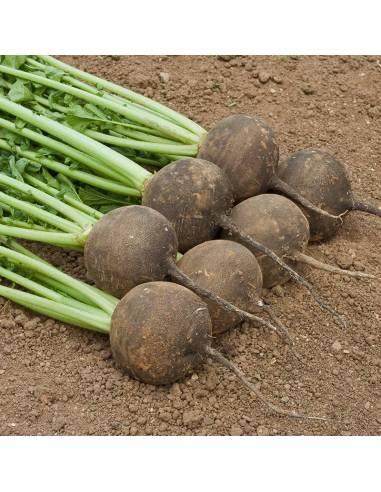 Rabanete Black Radish sementes biológicas