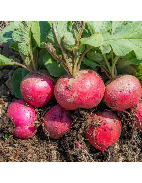 Rabanete Saxa 2 sementes biológicas