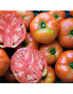 Tomate Ace 55 VF sementes biológicas