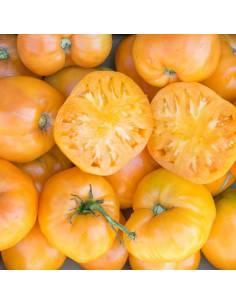 Tomate Coração de Boi Laranja sementes biológicas