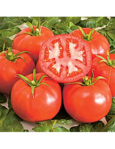 Tomate St.Pierre