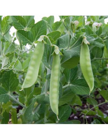 Ervilha Ambrosia sementes biológicas