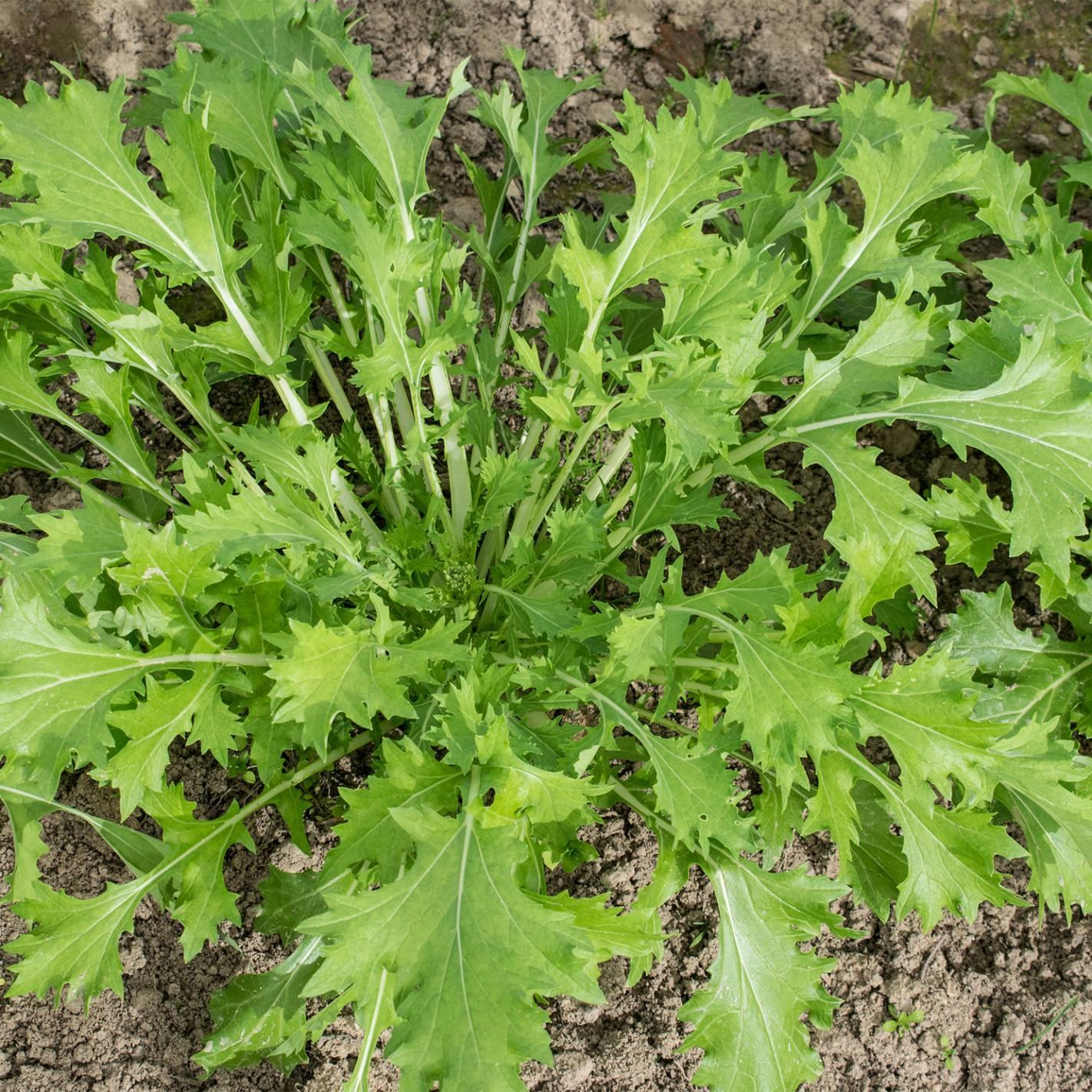 Verdura Asiática 'Namenia'