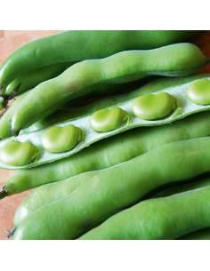 Fava Hangdown Grunkernig sementes biológicas