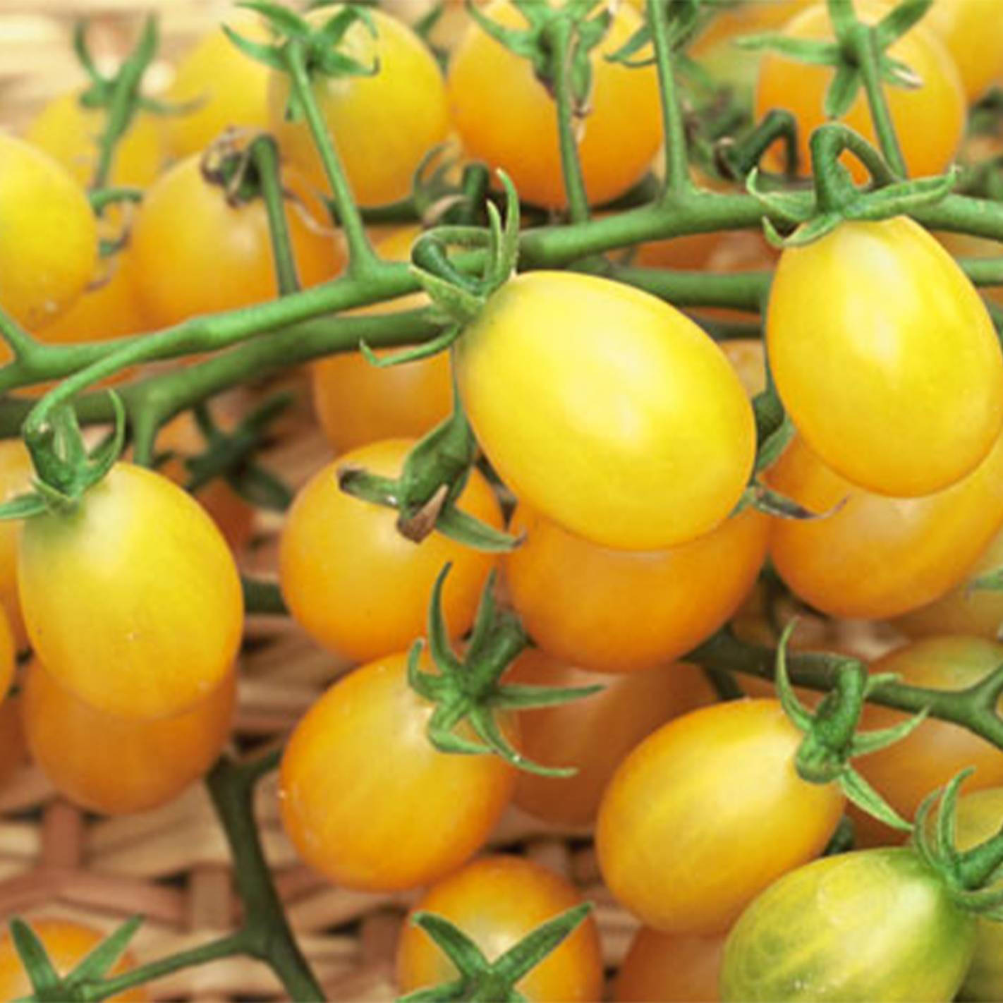 Tomate 'Cuban Yellow Cherry'