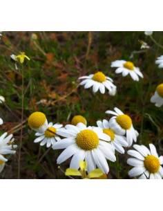 Camomila sementes biológicas