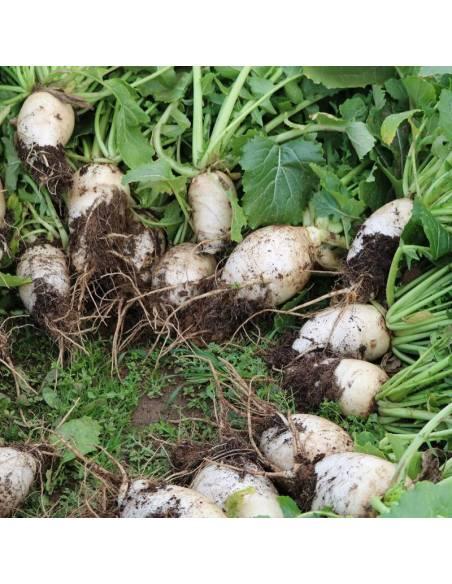 Turnip Gandra organic seeds