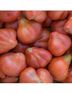 Tomate Liguria sementes biológicas