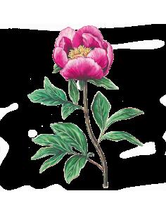 Rosa Albardeira sementes biológicas
