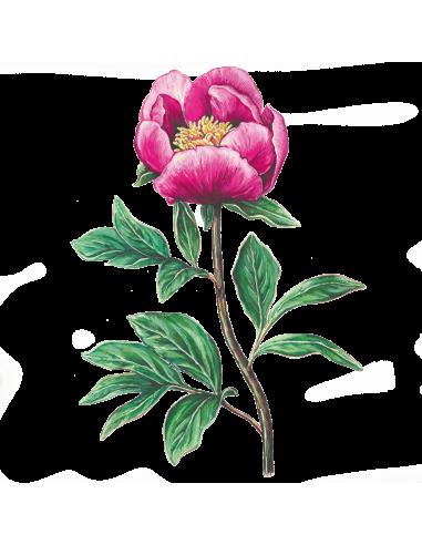 Paeonia Rosa Albardeira organic seeds