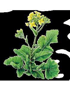 Greleiro Senhora da Conceição Turnip organic seeds