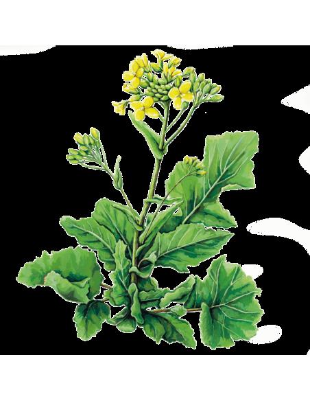 Nabo Greleiro Senhora da Conceição sementes biológicas