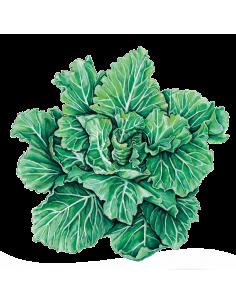 Tronchuda Portuguesa Cabbage organic seeds