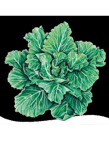 Couve Tronchuda Portuguesa sementes biológicas