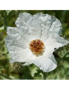 Papoila Espinhosa sementes biológicas