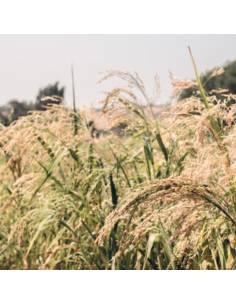 Milho Painço organic seeds