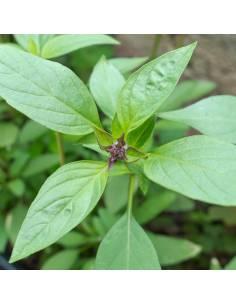 Manjericão da Tailândia sementes biológicas
