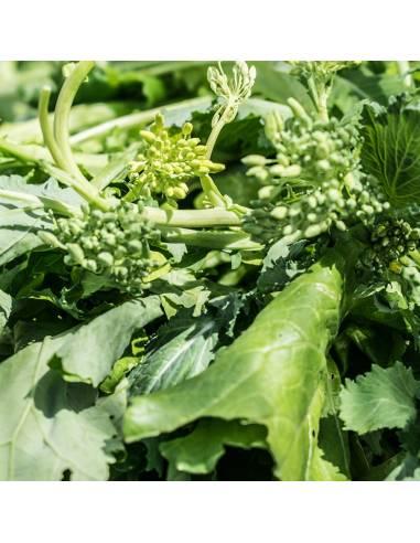 Nabo Greleiro Senhora Conceição sementes biológicas