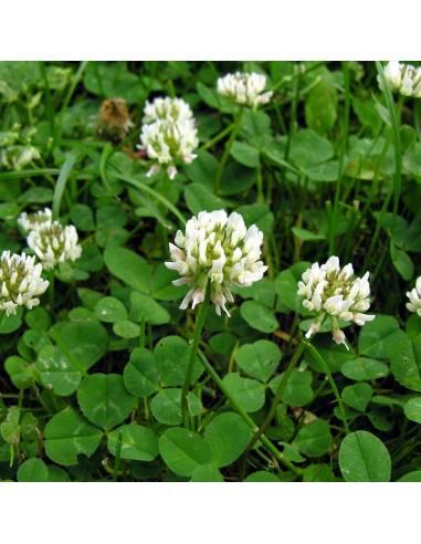 Trevo Branco Bio 1Kg sementes biológicas