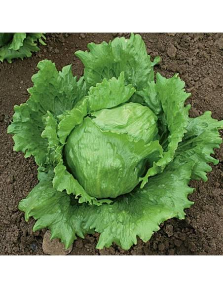Alface Saladin sementes biológicas