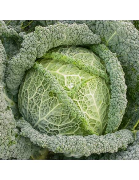 Cabbage Smaragd organic seeds