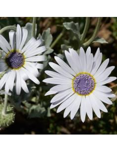 Malmequer Africano sementes biológicas