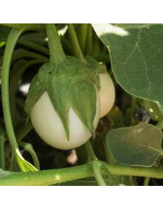 Beringela White Egg organic seeds