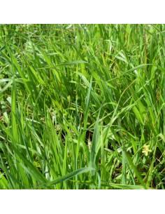 Azevém Mowestra 1kg sementes biológicas