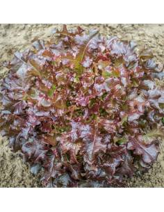 Alface Red Salad Bowl sementes biológicas