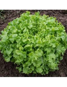 Alface Salad Bowl sementes biológicas