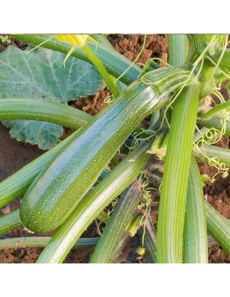Curgete Zuboda organic seeds