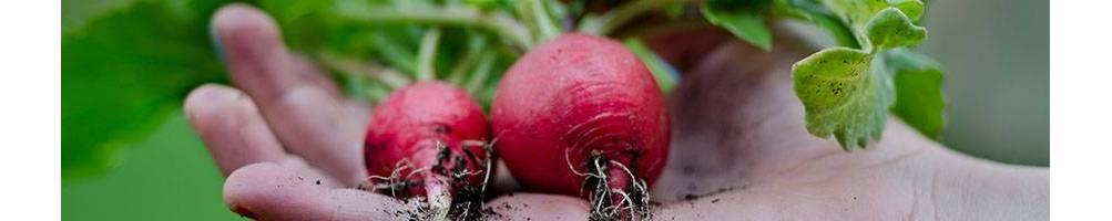 Rabanetes | Comprar Sementes Biológicas | Sementes Vivas